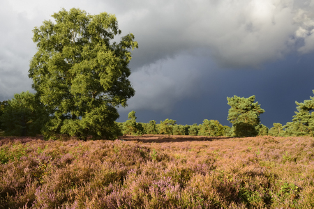 veluwe: Landscape with heather (Calluna vulgaris) and rainstorm coming in.