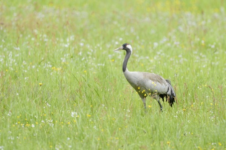 Common crane walking and foraging in grass.  Reklamní fotografie