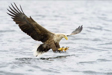 eagle flying: White-tailed Eagle catching fish. Stock Photo