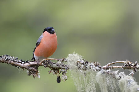 Bullfinch perched on branch  Stock Photo
