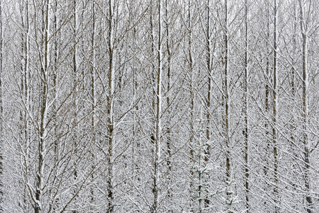betula pendula: Forest with birches covered with snow  Stock Photo