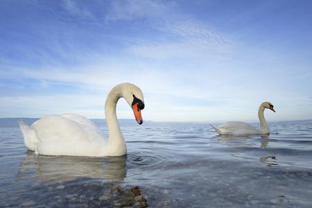 swan pair: Mute swan  Cygnus olor  swimming in blue water