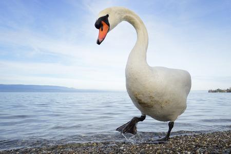 mute swan: Mute swan  Cygnus olor  standing on lakeshore