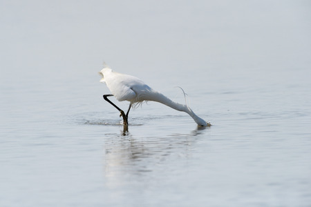 mirrored: Great White Egret foraging in water