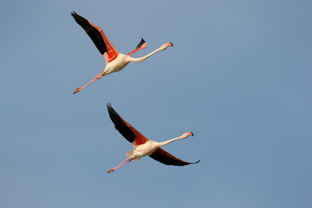 Two Greater Flamingo flying in formation against blue sky  photo