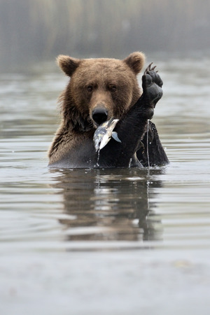 Grizzly Bear with fish in water. photo