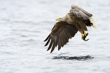 bird of prey: White-tailed Eagle catching fish. Stock Photo