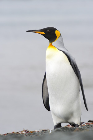 King Penguin  Aptenodytes patagonicus  standing on the beach of Macquarie Island, sub Antarctic waters of Australia