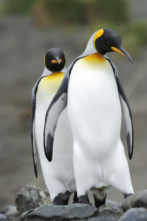 penguin colony: Two King Penguin  Aptenodytes patagonicus  walking behind each other in colony at Macquarie Island, sub Antarctic waters of Australia  Stock Photo