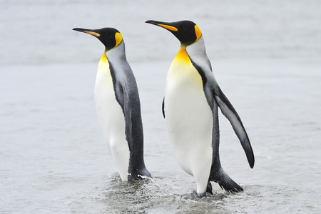 Two King Penguin  Aptenodytes patagonicus  walking behind each other at Macquarie Island, sub Antarctic waters of Australia  Stock Photo