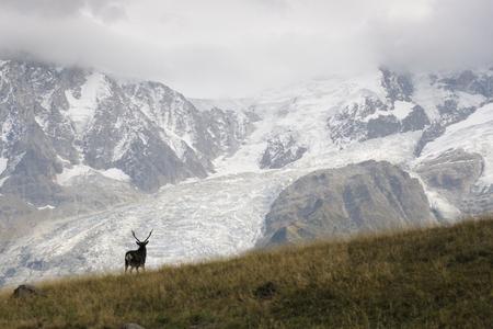 elaphus: Red deer (Cervus elaphus) walking in in front of landscape with glaciers and in rut.