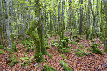 bended: Autumnal forest with bended trees and moss  Stock Photo