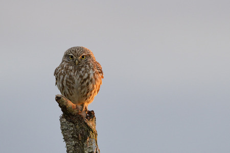 southern european: Little owl perched on tree stump