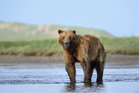 alaskan bear: Grizzly Bear standing in river Stock Photo