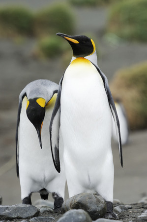 courting: Two King Penguin (Aptenodytes patagonicus) walking behind each other in colony at Macquarie Island, sub Antarctic waters of Australia.