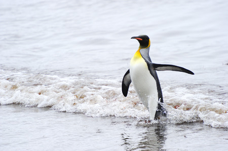 penguin colony: King Penguin (Aptenodytes patagonicus) coming out the water at Macquarie Island, sub Antarctic waters of Australia. Stock Photo