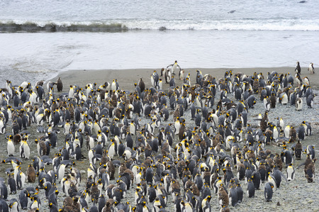 penguin colony: King Penguin (Aptenodytes patagonicus) colony on the beach at Macquarie Island, sub Antarctic waters of Australia.