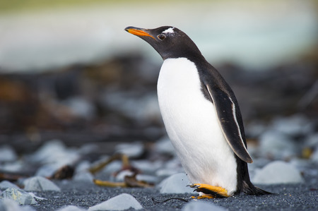 Gentoo Pinguin (Pygoscelis papua) walking on a rocky beach at Macquarie island, Australia.