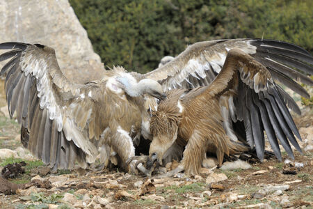 griffon: Two griffon vultures fighting.