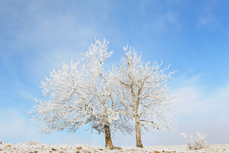 View on two frozen trees in a frozen landscape and blue sky