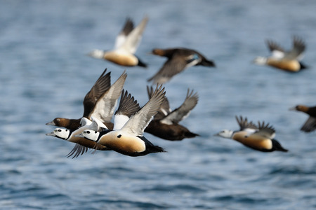 Group of Stellers Eider flying photo