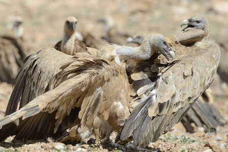 pyrenees: Two griffon vultures fighting.
