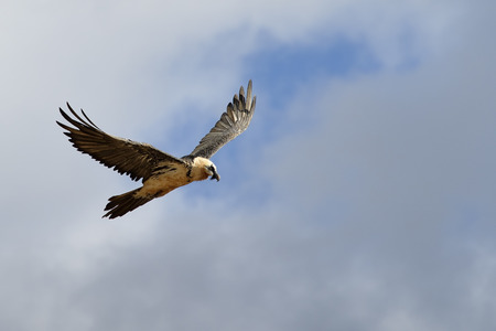 Bearded vulture flying against clouded sky. photo
