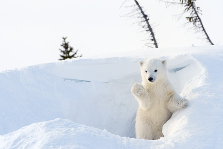 cachorro: Oso polar (Ursus maritimus) cachorro saliendo den y jugar, parque nacional de Wapusk, Canadá. Foto de archivo