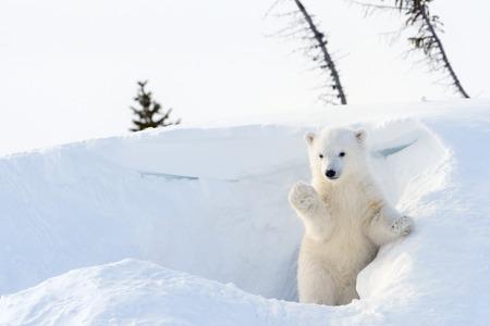 Polar bear (Ursus maritimus) cub coming out den and playing around, Wapusk national park, Canada. Reklamní fotografie - 34919606