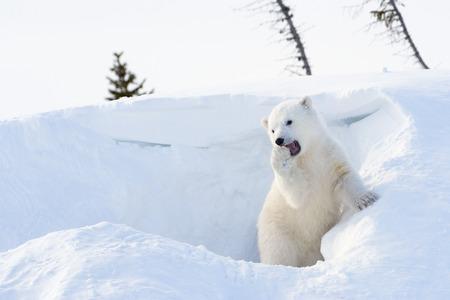 cachorro: Oso polar (Ursus maritimus) cachorro saliendo den y jugar, parque nacional de Wapusk, Canad�. Foto de archivo