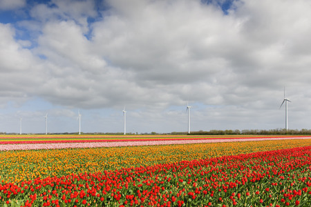 archetypal: Tulip field with different colors of tulips and windmills for wind energy power in the background, North Holland, The Netherlands. Stock Photo