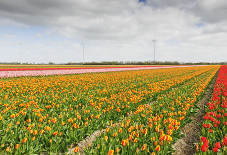 north holland: Tulip field with different colors of tulips and windmills for wind energy power in the background, North Holland, The Netherlands. Stock Photo