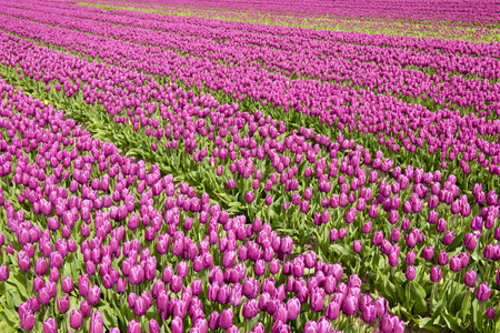 View on a red tulip field with lines, North Holland, The Netherlands.