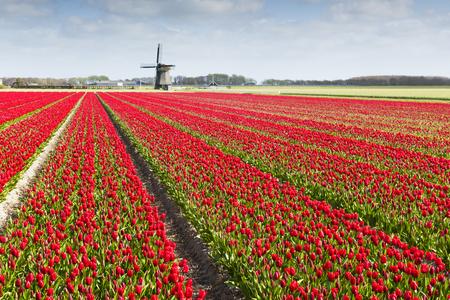 Tulp veld met verschillende kleuren van tulpen en windmolen op de achtergrond, Noord-Holland, Nederland.
