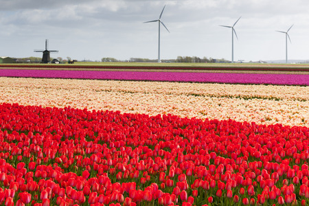 archetypal: Tulip field with different colors of tulips and modern windmills for wind energy power and an ancient windmill in the background, North Holland, The Netherlands.