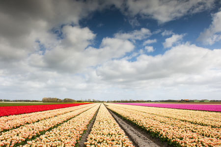 north holland: Tulip field woth different colors and cloudy sky above, North Holland, the Netherlands.