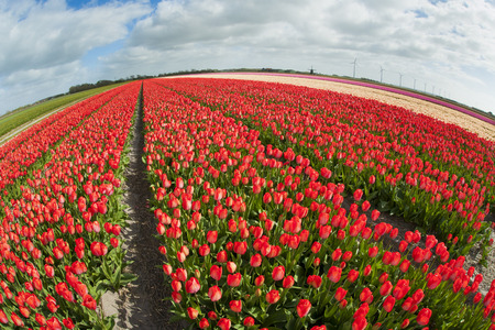 Fish eye view of a tulip field with different colors and cloudy sky above, North Holland, the Netherlands. photo
