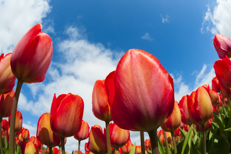 archetypal: Tulip field close-up, with blue sky and clouds above, North Holland, The Netherlands.