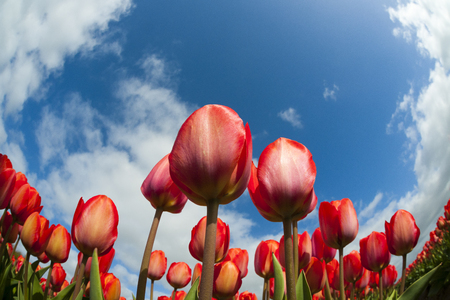 north holland: Tulip field close-up, with blue sky and clouds above, North Holland, The Netherlands.
