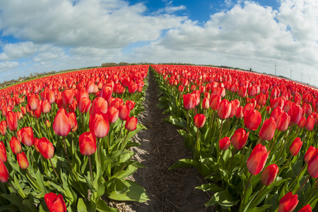 prototypical: Fish eye view of a tulip field with different colors and cloudy sky above, North Holland, the Netherlands. Stock Photo