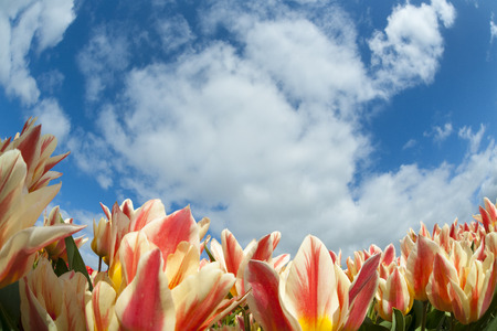 Tulip field close-up, with blue sky and clouds above, North Holland, The Netherlands.
