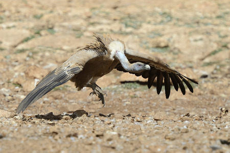 gyps: griffon vulture jumping in attack.
