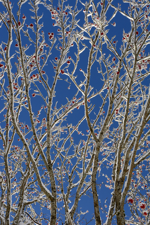 sorbus aucuparia: European Rowan ( Sorbus aucuparia ) tree with red berries during winter in French alps wcovered with snow. Stock Photo