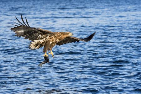 White-tailed eagle (Haliaeetus albicilla) catching fish in Norwegian bay. Stock Photo