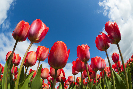 prototypical: Tulip field close-up, North Holland, The Netherlands.