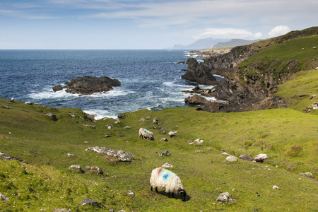 prototypical: Herd of Black Face sheep grazing on cliffs at the westcoast of Ireland. Stock Photo