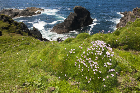 Sea Thrift (Armeria maritima) flowering on top of a clif at the westcoast from Ireland.