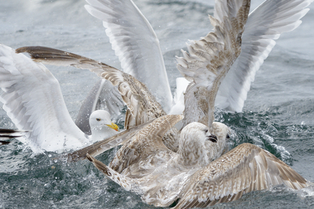 squabble: Group of Hering gulls quarreling over food in water.