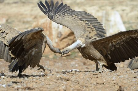 spreaded: Two griffon vultures threatening each other.