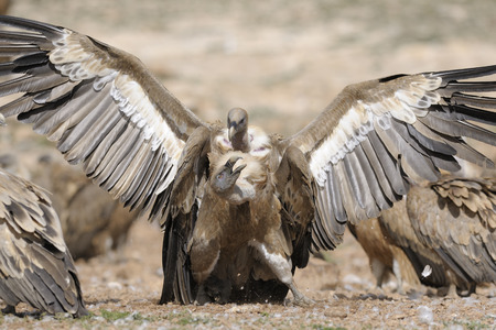 spreaded: Two griffon vultures fighting.